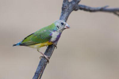 Gouldian - Juvenile (Erythrura gouldiae) - Edith Falls, NT (2)