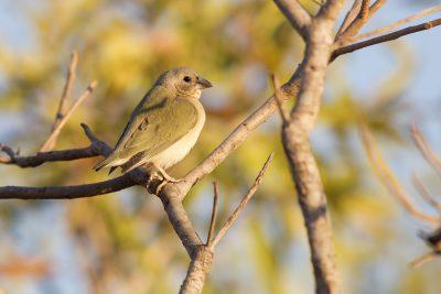 Gouldian - Juvenile (Erythrura gouldiae) - Edith Falls, NT (3)