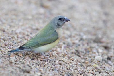Gouldian - Juvenile (Erythrura gouldiae) - Edith Falls, NT