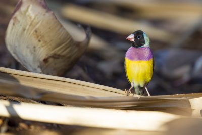 Goudian - Male Black-faced (Erythrura gouldiae) - Edith Falls, NT (3)