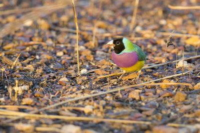 Gouldian - Male Blackfaced (Erythrura gouldiae) - Marrakai Track, NT (2)