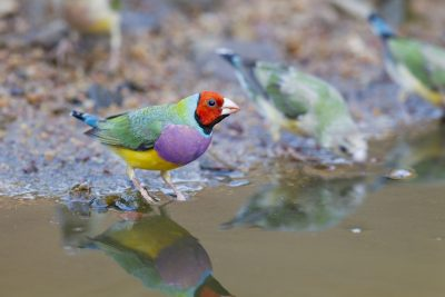 Gouldian - Male Red-faced (Erythrura gouldiae) - Edith Falls, NT (6)