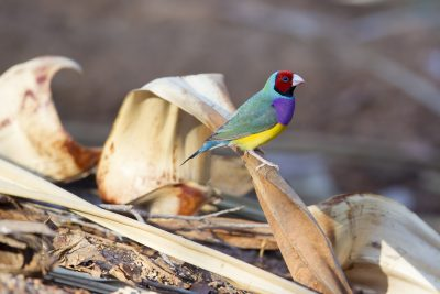 Gouldian - Male Red-faced (Erythrura gouldiae) - Edith Falls, NT (7)