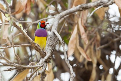 Gouldian Finch - Red-Faced (Erythrura gouldiae) - Edith Falls, NT (2)