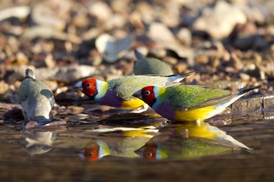 Gouldian Finch - Red-Faced (Erythrura gouldiae) - Edith Falls, NT