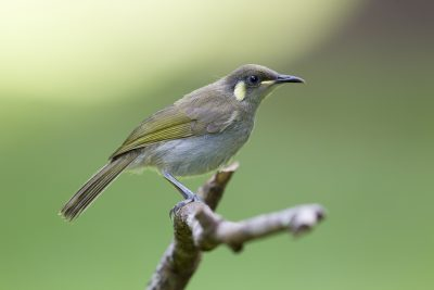 Cryptic Honeyeater