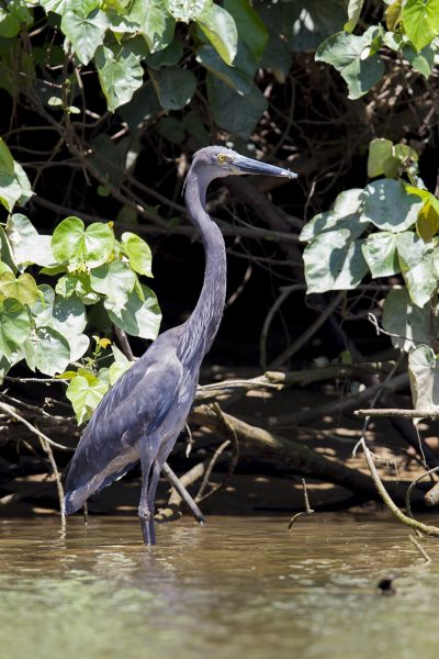 Great-billed Heron (Ardea sumatrana) - Daintree River, QLD (2)