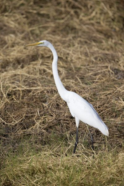 Great Egret  (Ardea alba modesta) - Barkley Tablelands, NT