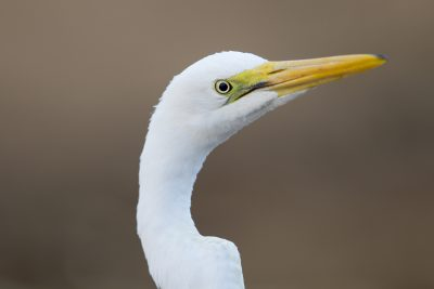Great Egret - Profile (Ardea alba modesta) - Edith Falls, NT