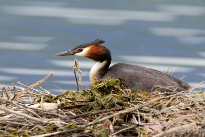 Greater Crested Grebe - South Island, New Zealand