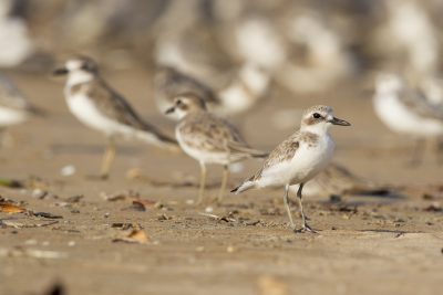 Greater Sand Plover (Charadrius leschenaultii leschenaultii) - Buffalo Creek, NT (2)