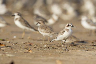 Greater Sand Plover (Charadrius leschenaultii leschenaultii) - Buffalo Creek, NT (2)