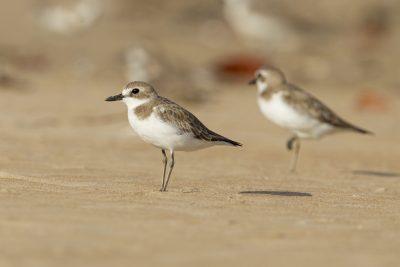 Greater Sand Plover (Charadrius leschenaultii leschenaultii) - Buffalo Creek, NT (4)