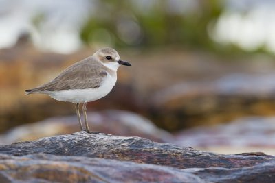 Greater Sand Plover (Charadrius leschenaultii leschenaultii) - Buffalo Creek, NT (5)