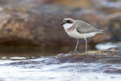 Greater Sand Plover (Charadrius leschenaultii leschenaultii) - Buffalo Creek, NT (6)
