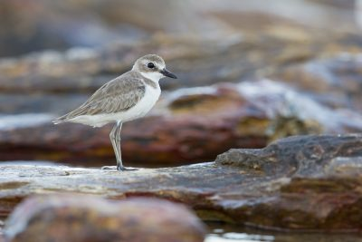 Greater Sand Plover (Charadrius leschenaultii leschenaultii) - Buffalo Creek, NT (7)