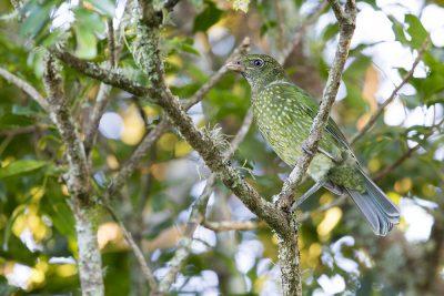Green Catbird (Ailuroedus crassirostris) - Lammington National Park, QLD