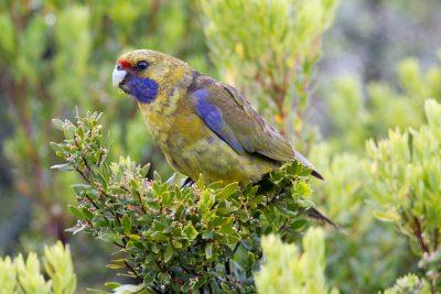 Green Rosella (Platycercus caledonicus caledonicus) - Tasmania (2)