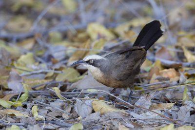 Grey-crowned Babbler (Pomatostomus temporalis rubeculus) - Katherine, NT