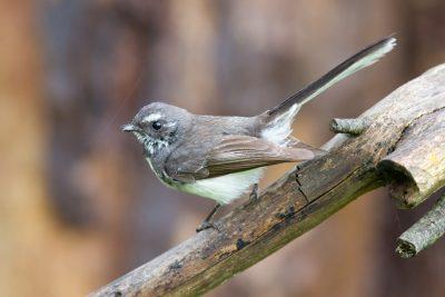 Grey Fantail (Rhipidura fuliginosa albiscapa) - Tasmania