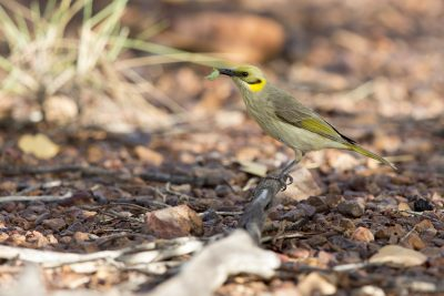 Grey-fronted Honeyeater - Eating Grub (Lichenostomus plumulus planasi) - Lady Loretta Project, QLD