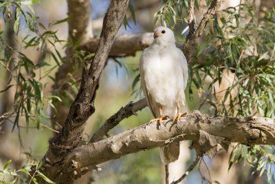 Grey Goshawk - White Morph (Accipiter novaehollandiae novaehollandiae) - Mary River, NT (2)