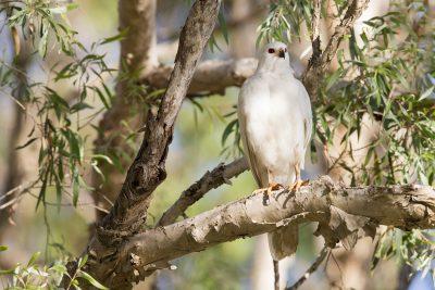 Grey Goshawk - White Morph (Accipiter novaehollandiae novaehollandiae) - Mary River, NT (4)