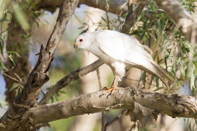 Grey Goshawk - White Morph (Accipiter novaehollandiae novaehollandiae) - Mary River, NT