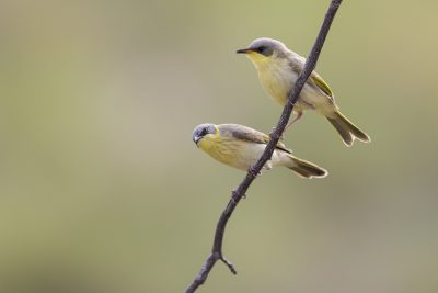 Grey-headed Honeyeater (Lichenostomus keartlandi) - Mount Isa, QLD