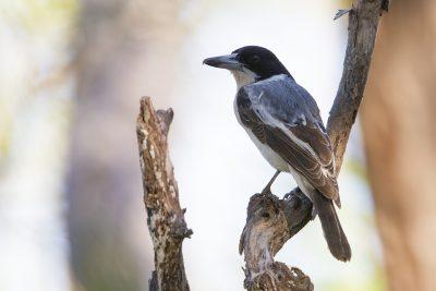 Grey (Silver-backed) Butcherbird (Cracticus torquatus argenteus) - Darwin, NT (2)
