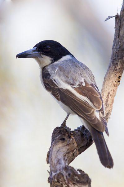 Grey (Silver-backed) Butcherbird (Cracticus torquatus argenteus) - Darwin, NT