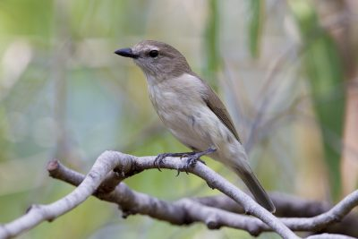 Grey Whistler (Pachycephala simplex simplex) - East Point, NT (2)