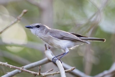 Grey Whistler (Pachycephala simplex simplex) - East Point, NT