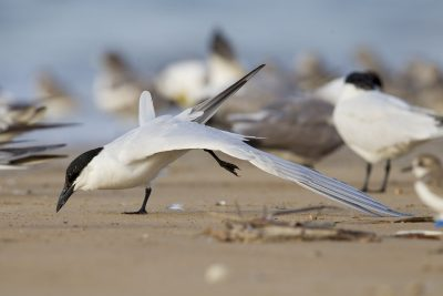 Gull-billed Tern (Gelochelidon nilotica macrotarsa) - Sandy Creek, NT