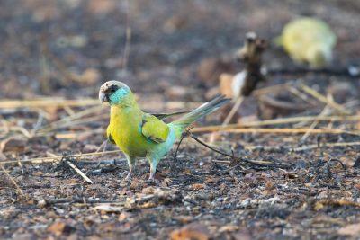 Hooded Parrot - Juvenile  (Psephotus dissimilis) - Pine Creek, NT