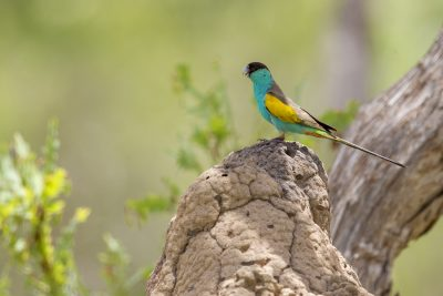 Hooded Parrot - Male at Nest Hole  (Psephotus dissimilis) - Katherine Area, NT (2)