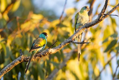 Hooded Parrot - Male & Female (Psephotus dissimilis) - Katherine Area, NT