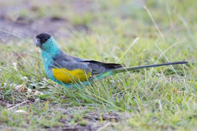 Hooded Parrot - Male  (Psephotus dissimilis) - Pine Creek, NT