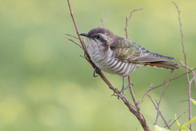 Horsfields Bronze-Cuckoo - Adult (Chalcites basalis) - Casuarina Coastal Reserve, NT (3)
