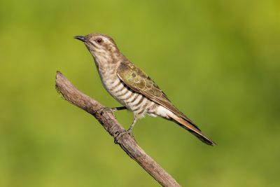Horsfields Bronze-Cuckoo - Adult (Chalcites basalis) - Casuarina Coastal Reserve, NT