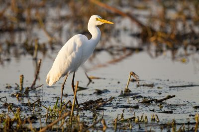 Intermediate Egret (Ardea intermedia intermedia) - Fogg Dam Reserve, Darwin (2)
