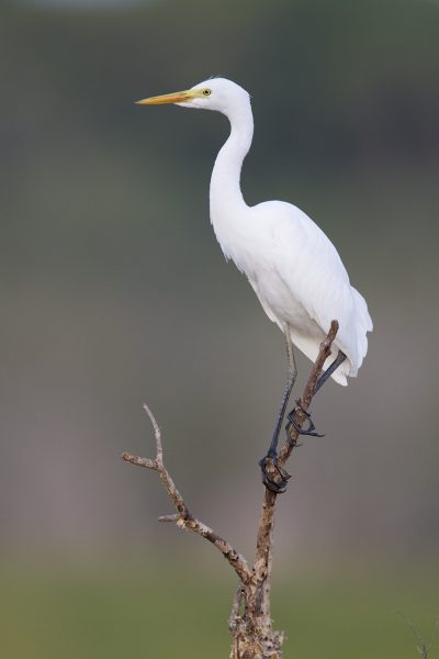 Intermediate Egret (Ardea intermedia intermedia) - Fogg Dam Reserve, Darwin
