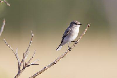 Jackie Winter (Microeca fascinans pallida) - Buntine Highway, NT (2)
