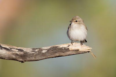 Jackie Winter (Microeca fascinans pallida) - Buntine Highway, NT (3)