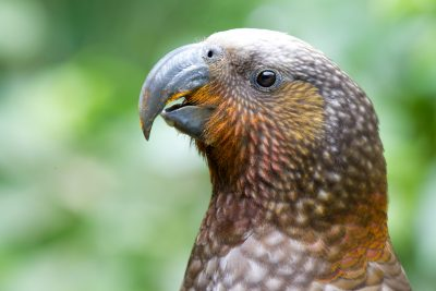 Kaka Profile - Zealandia, Wellington