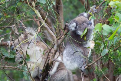 Koala (Mum & Baby