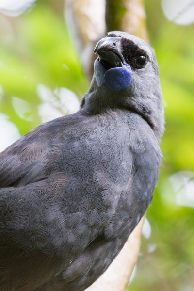 Kokako  - Titititi Matungi Island, NZ