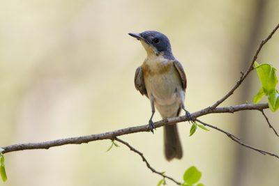 Leaden Flycatcher - Juvenile (Myiagra rubecula concinna) - Katherine, NT