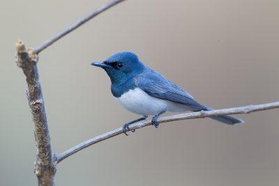Leaden Flycatcher - Male (Myiagra rubecula concinna) - Katherine, NT (2)