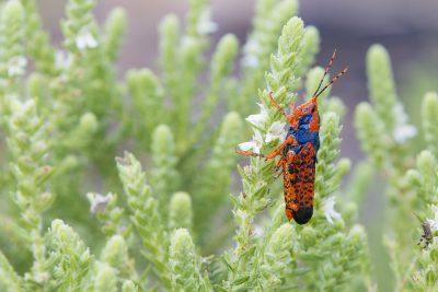 Leichhardt's Grasshopper4